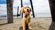 Golden Retriever Puppy Sit and Stay