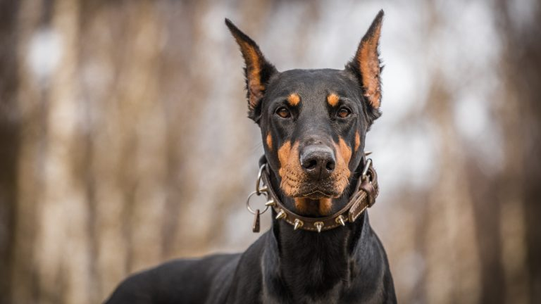doberman pinscher dog information fun facts and faq s 2019 edition