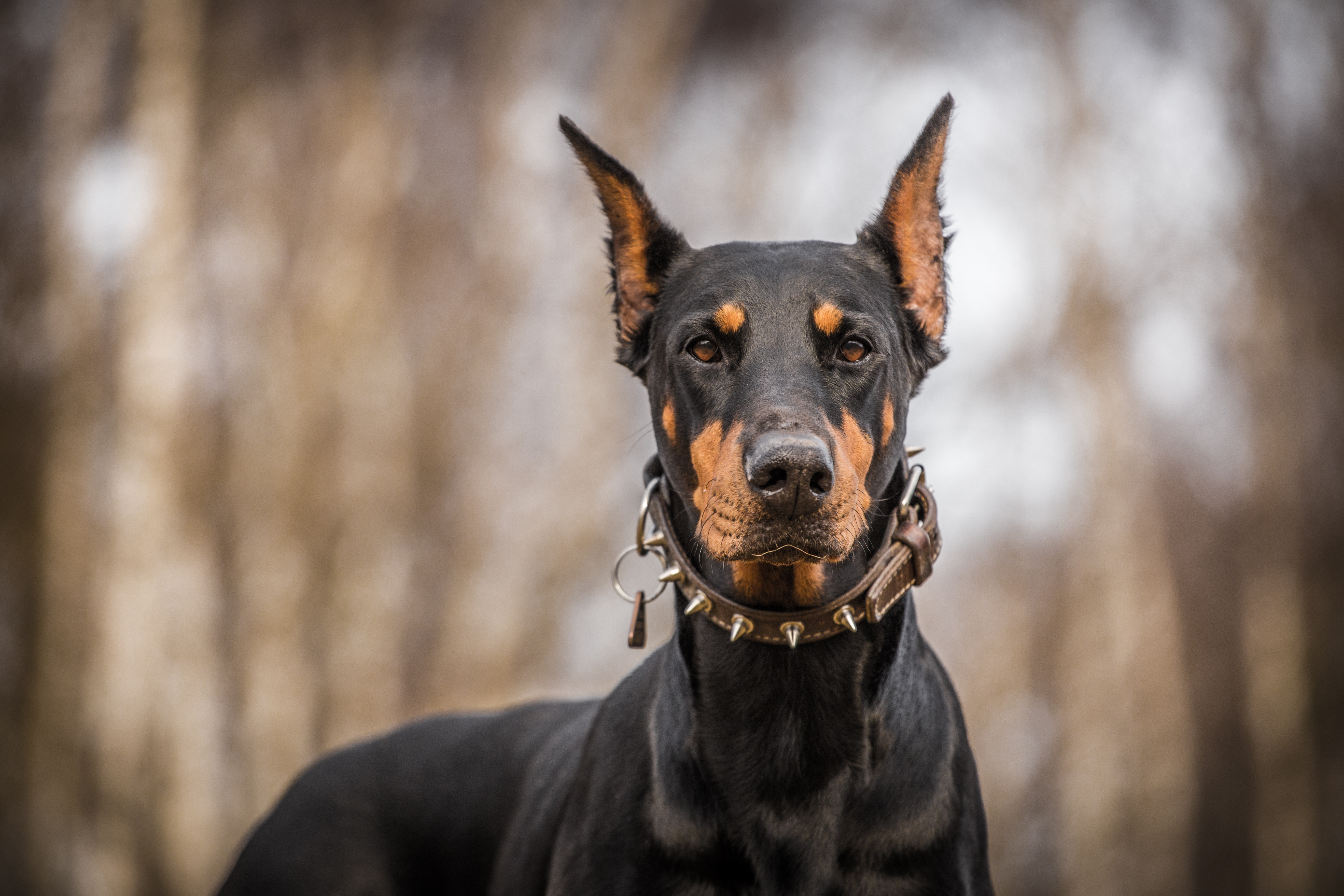 doberman pinscher dog information fun facts and faq 39 s 2018 edition. Black Bedroom Furniture Sets. Home Design Ideas