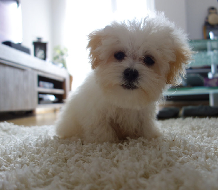 Maltipoo Dog Breed Information Fun Facts And History